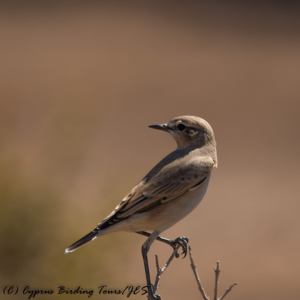 Isabelline Wheatear,  Cape Greco 5th September 2016 (c) Cyprus Birding Tours