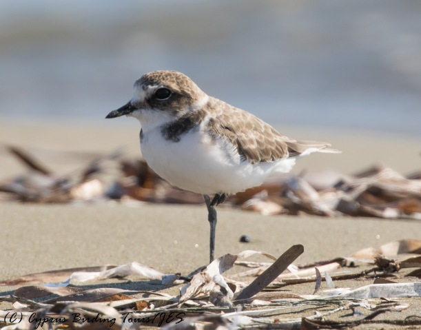 Kentish Plover, Spiros Beach 17th September 2016 (c) Cyprus Birding Tours