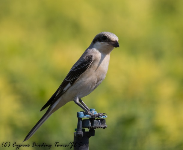 Lesser Grey Shrike, Mandria 6th September 2016 (c) Cyprus Birding Tours