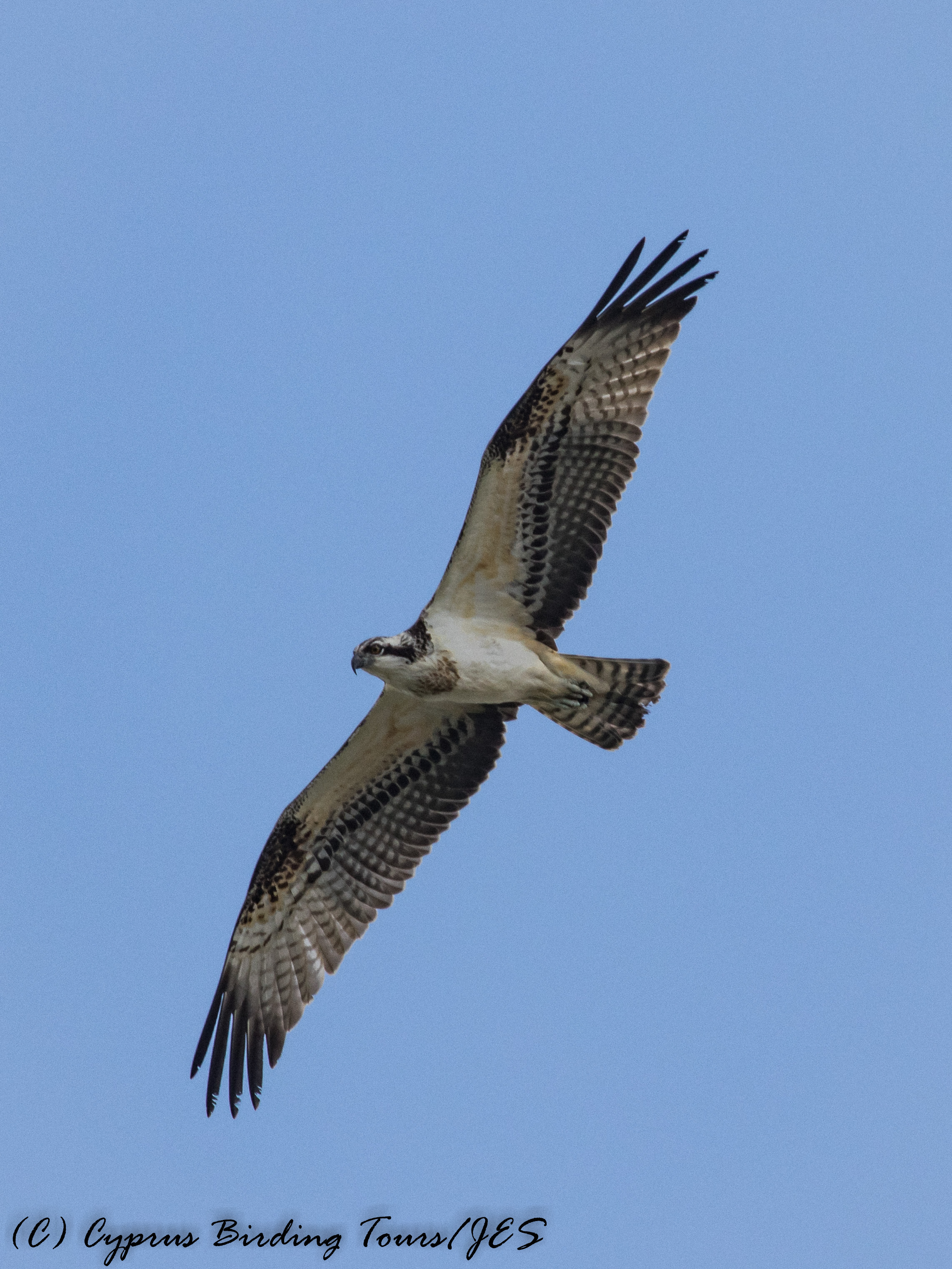 Osprey, Akhna Dam 27th September 2016 (c) Cyprus Birding Tours