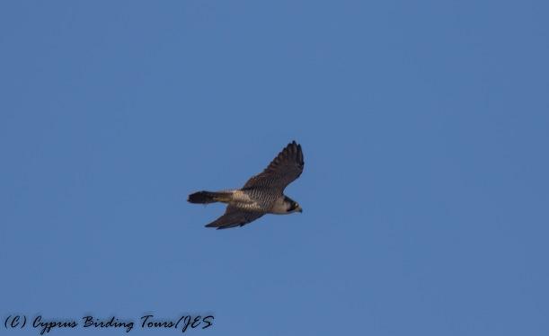 Peregrine Falcon, Cape Greco 2nd September 2016 (c) Cyprus Birding Tours