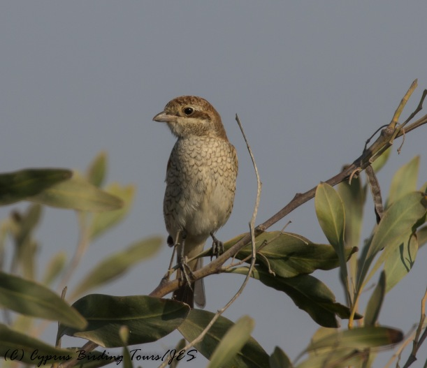 Red-backed Shrike, Larnaca 1st September 2016 (c) Cyprus Birding Tours