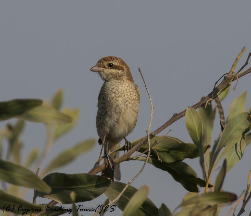 Red-backed Shrike, Larnaca 1st September 2016 (c) Cyprus Birding Tours