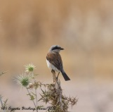 Red-backed Shrike, Agia Varvara 14th September 2016 (c) Cyprus Birding Tours
