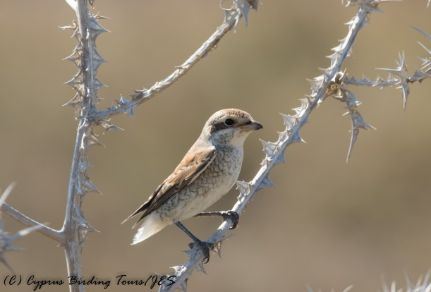 Juvenile Red-backed Shrike - missing a tail, Larnaca 17th September 2016 (c) Cyprus Birding Tours
