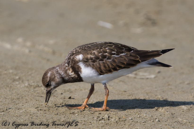 Ruddy Turnstone, Spiros Beach 1st September 2016 (c) Cyprus Birding Tours