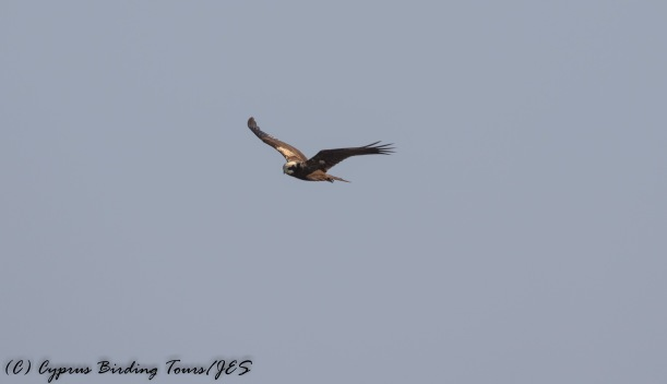 Western Marsh Harrier, Cape Greco 5th September 2016 (c) Cyprus Birding Tours