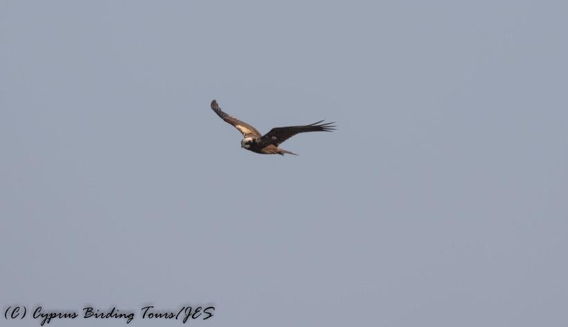 Western Marsh Harrier, Cape Greco 5th September 2016 (c) Cyprus Birding Tours
