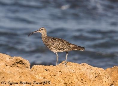 Whimbrel, Paphos Headland 14th September 2016 (c) Cyprus Birding Tours