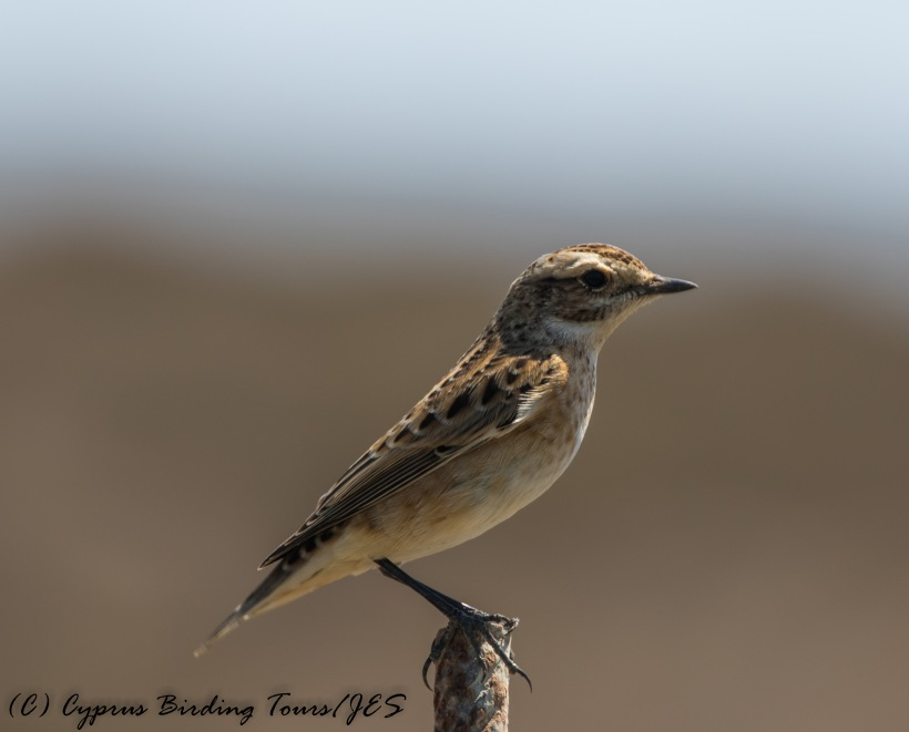 Whinchat, Cape Greco 5th September 2016 (c) Cyprus Birding Tours