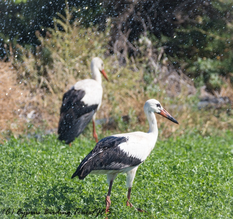 White Stork, Akrotiri 28th September 2016 (c) Cyprus Birding Tours