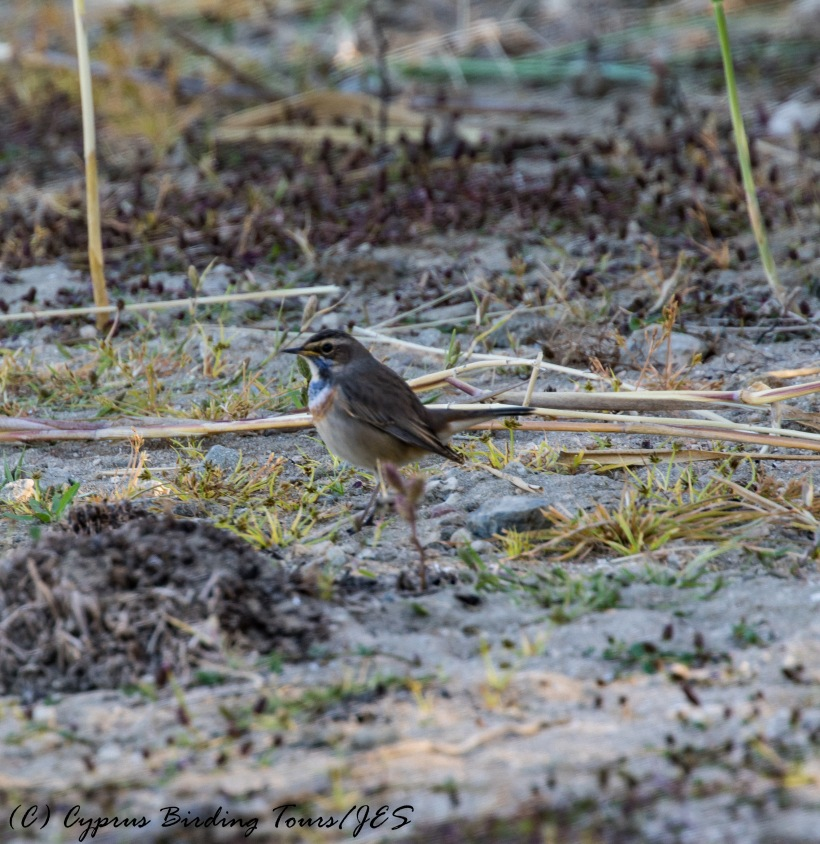 Bluethroat, Akhna Dam 27th October 2016 (c) Cyprus Birding Tours