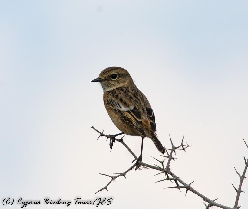 Common Stonechat, Agios Sozomenos 20th October 2016 (c) Cyprus Birding Tours