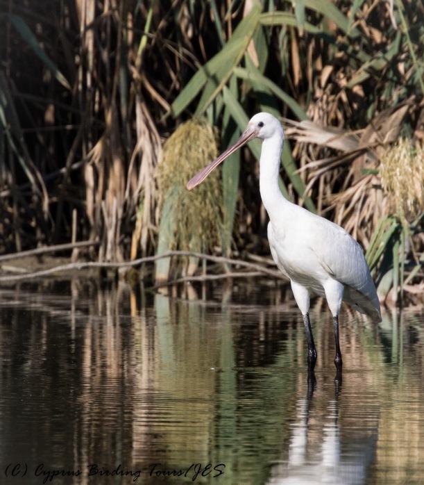 Eurasian Spoonbill, Athalassa Dam, 21st October 2016 (c) Cyprus Birding Tours