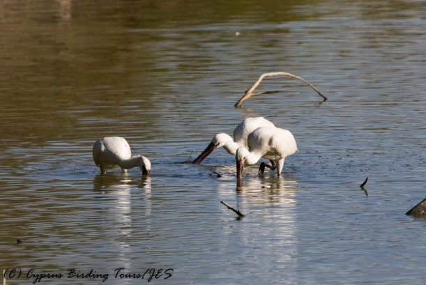 Three feeding Eurasian Spoonbill, Athalassa Dam, 21st October 2016 (c) Cyprus Birding Tours