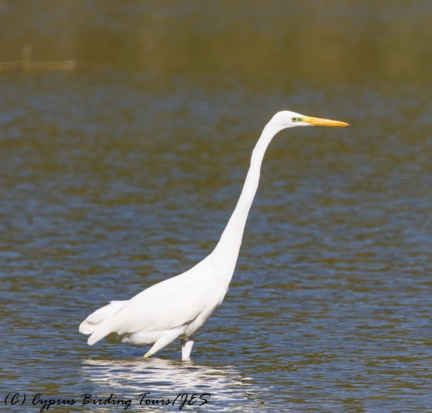Great Egret, Athalassa Dam, 21st October 2016 (c) Cyprus Birding Tours