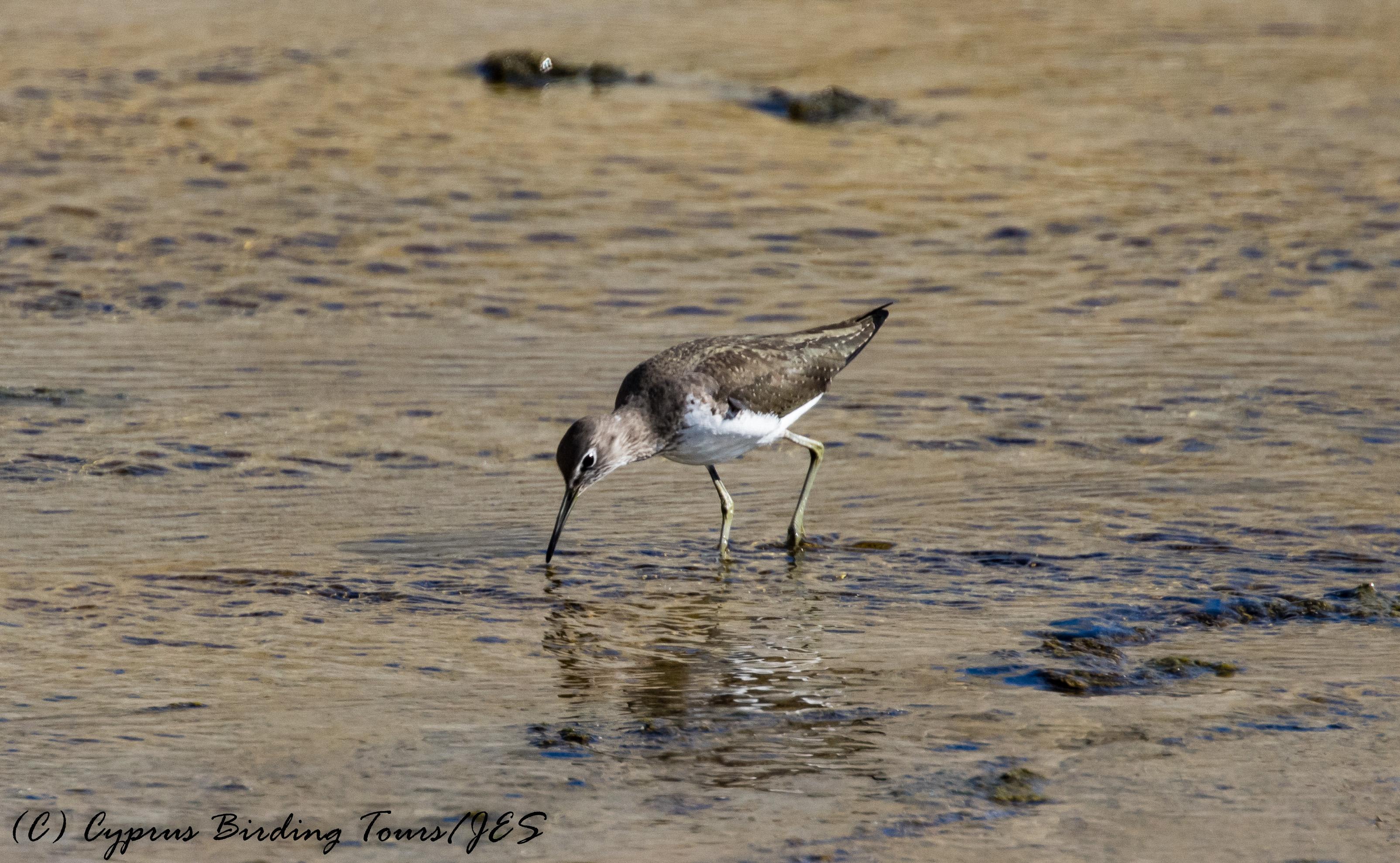 Green Sandpiper, Larnaca Salt Lake, 26th October 2016 (c) Cyprus Birding Tours