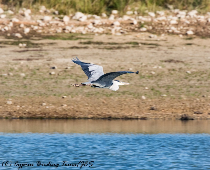 grey-heron-akhna-dam-27th-october-2016-1-of-1