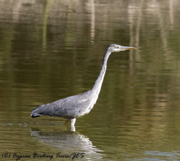 Grey Heron, Athalassa Dam, 21st October 2016 (c) Cyprus Birding Tours