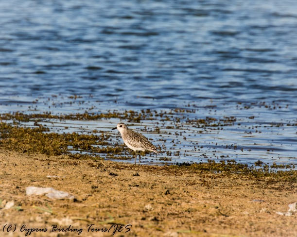 Grey Plover, Akhna Dam 27th October 2016 (c) Cyprus Birding Tours