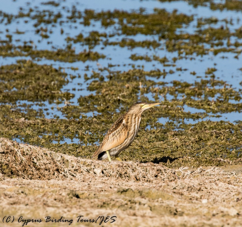Little Bittern, Akhna Dam 27th October 2016 (c) Cyprus Birding Tours