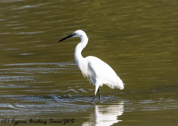 Little Egret, Athalassa Dam, 21st October 2016 (c) Cyprus Birding Tours