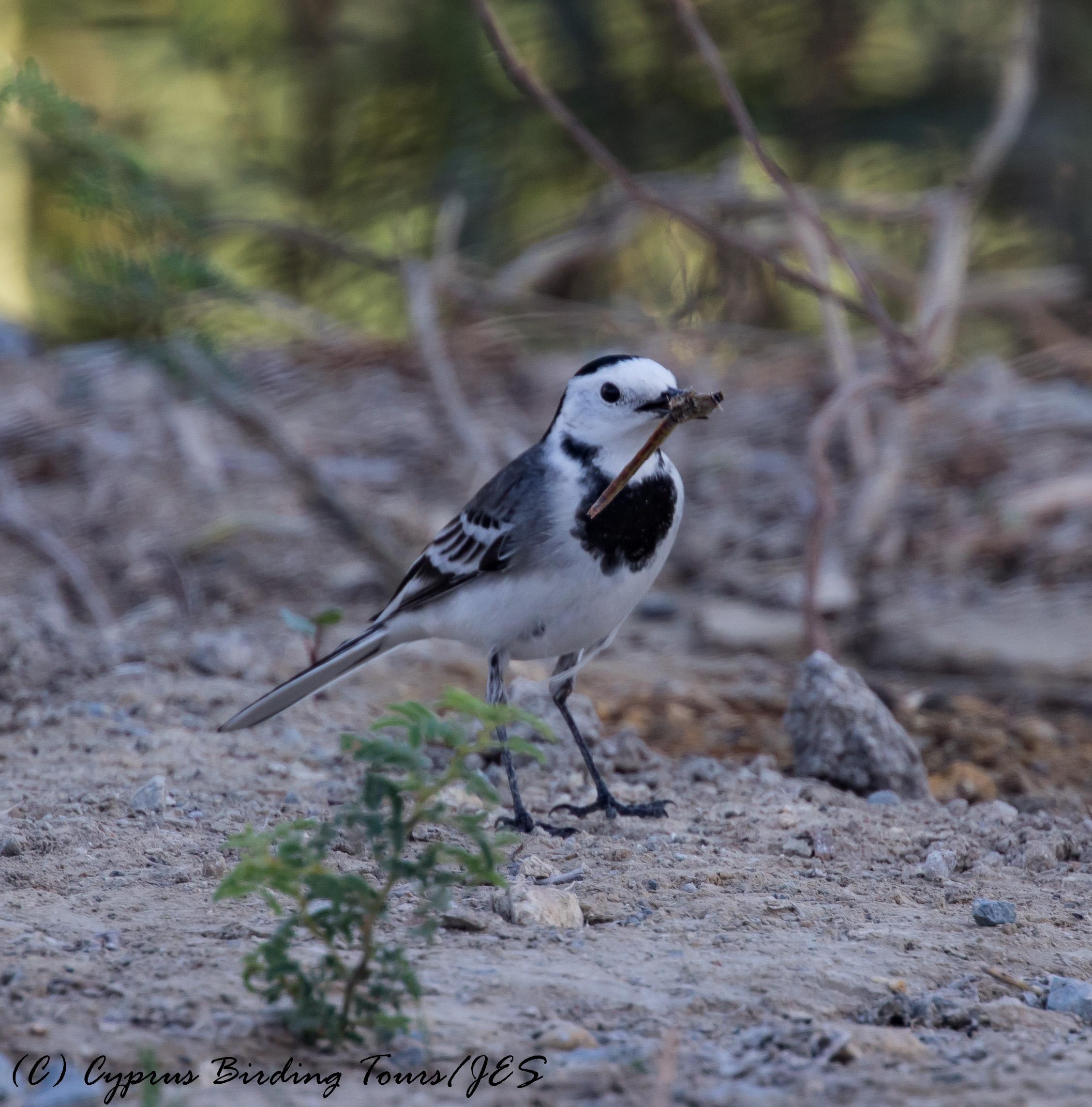 White Wagtail, Larnaca Salt Lake, 26th October 2016 (c) Cyprus Birding Tours