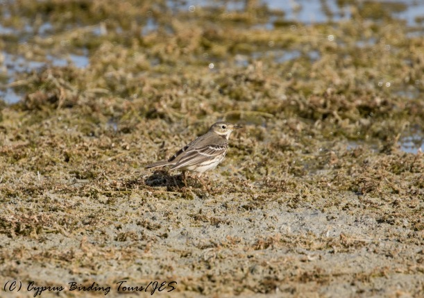 Asian Buff-bellied Pipit, Akhna Dam 22nd November 2016 (c) Cyprus Birding Tours
