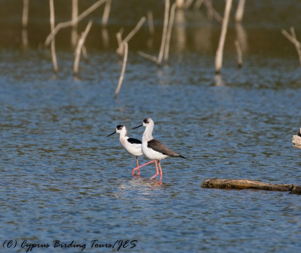 Black-winged Stilt, Athalassa Dam 16th November 2016 (c) Cyprus Birding Tours