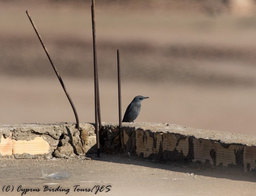 Blue Rock Thrush, Phinikas, 11th November 2016 (c) Cyprus Birding Tours