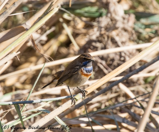 Bluethroat, Larnaca Salt Lake 18th November 2016 (c) Cyprus Birding Tours