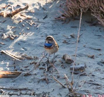 Bluethroat, Zakaki Marsh, 14th November 2016 (c) Cyprus Birding Tours