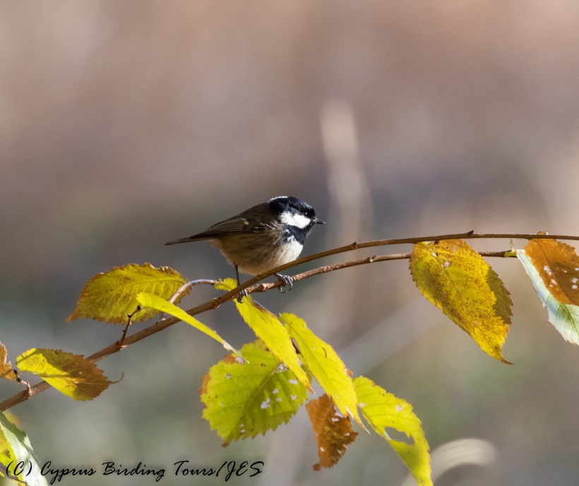 Coal Tit, Troodos 25th November 2016 (c) Cyprus Birding Tours