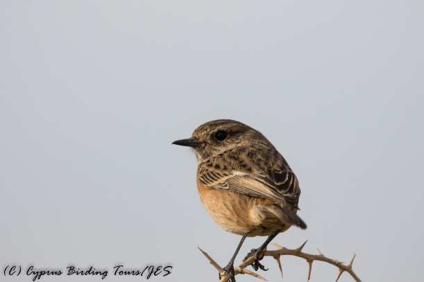 Common Stonechat, Cape Greco 22nd November 2016 (c) Cyprus Birding Tours