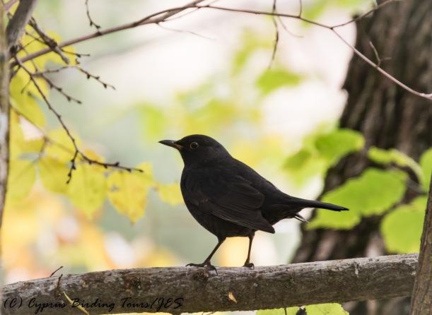 Eurasian Blackbird, Livadi tou Pashia 12th November 2016 (c) Cyprus Birding Tours