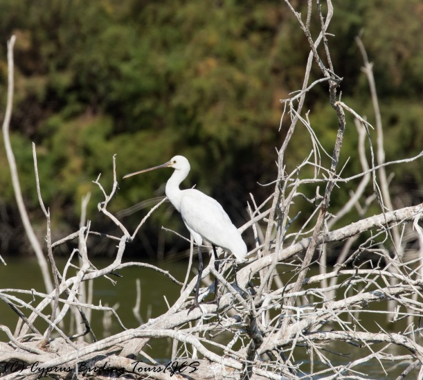 Eurasian Spoonbill, Athalassa Dam 16th November 2016 (c) Cyprus Birding Tours