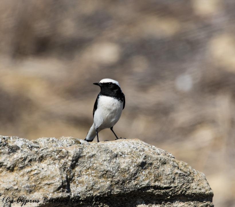 Finsch's Wheatear, Agios Sozomenos 3rd November 2016 (c) Cyprus Birding Tours