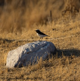 Finsch's Wheatear Anarita Park 24th November 2016 (c) Cyprus Birding Tours