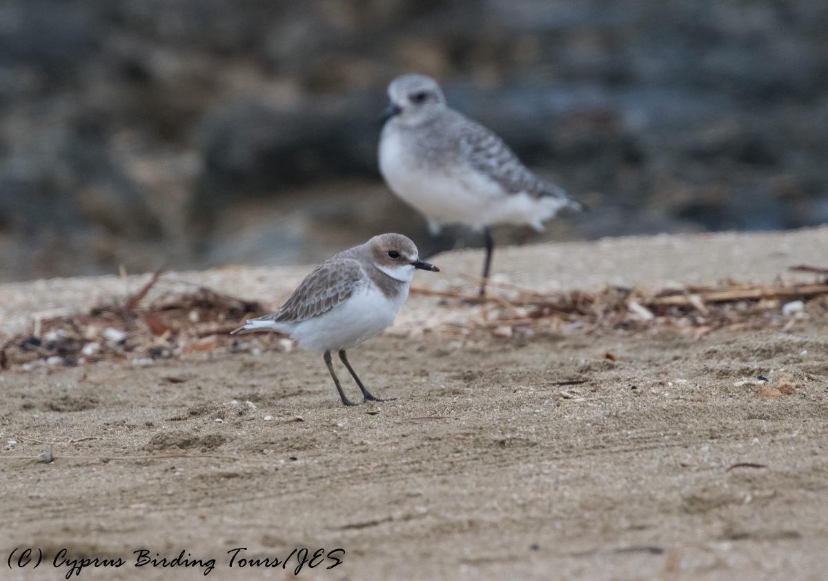 Greater Sand Plover 2, Agia Trias, 29th November 2016 (c) Cyprus Birding Tours
