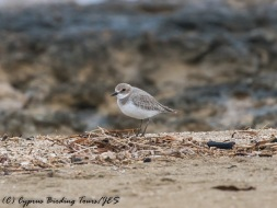 Greater Sand Plover, Agia Trias, 29th November 2016 (c) Cyprus Birding Tours