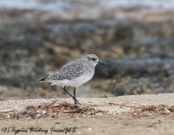 Grey Plover, Agia Trias, 29th November 2016 (c) Cyprus Birding Tours