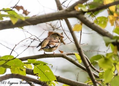 Hawfinch f, Livadi tou Pashia 12th November 2016 (c) Cyprus Birding Tours