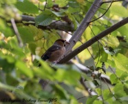 Hawfinch m, Livadi tou Pashia 12th November 2016 (c) Cyprus Birding Tours