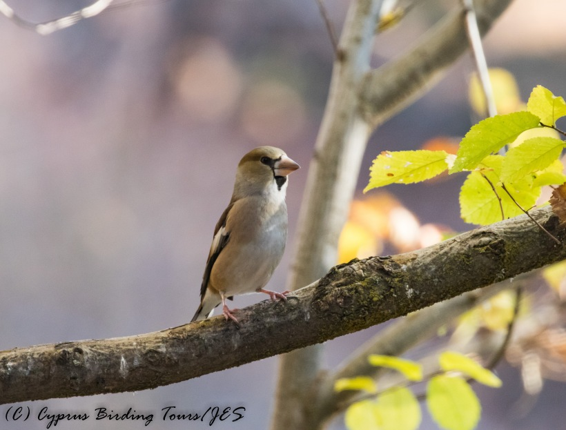 Hawfinch, Troodos 25th November 2016 (c) Cyprus Birding Tours