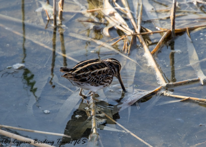 Jack Snipe, Zakaki Marsh, 7th November 2016 (c) Cyprus Birding Tours