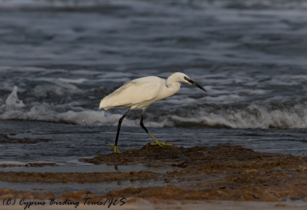 Little Egret, Agia Trias, 22nd November 2016 (c) Cyprus Birding Tours