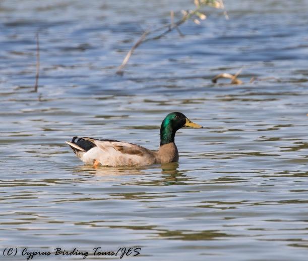 Mallard, Athalassa Dam 16th November 2016 (c) Cyprus Birding Tours