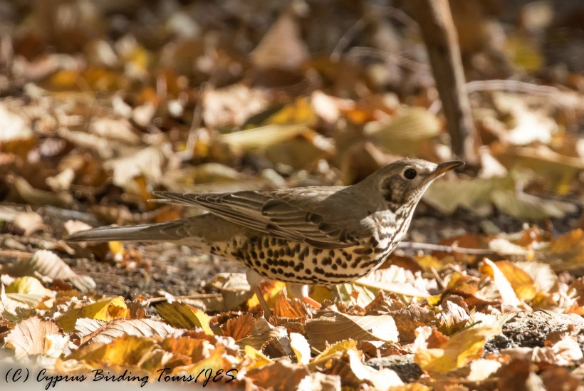 Mistle Thrush, Troodos 25th November 2016 (c) Cyprus Birding Tours