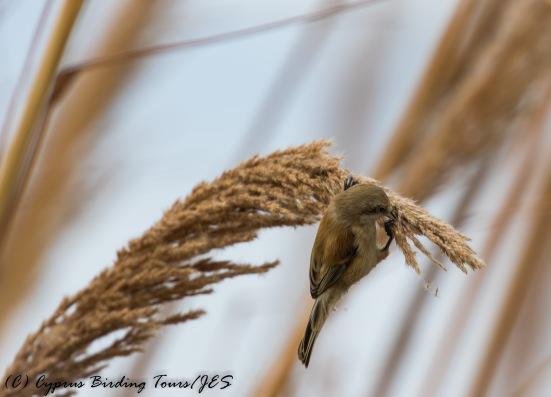 Penduline Tit, Phasouri Reed Beds 7th November 2016 (c) Cyprus Birding Tours
