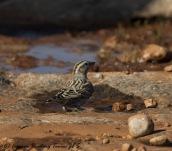 Rock Sparrow, 27th November 2016 (c) Cyprus Birding Tours